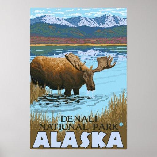 Moose Drinking at Lake - Denali National Park, Print
