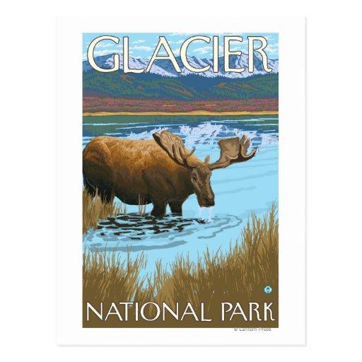 Moose Drinking at Lake - Glacier National Park, Post Cards