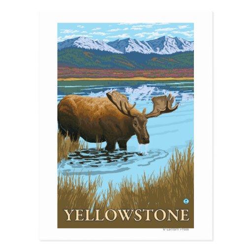 Moose Drinking at Lake - Yellowstone National Post Card