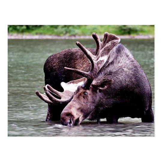 Moose Drinking Postcard