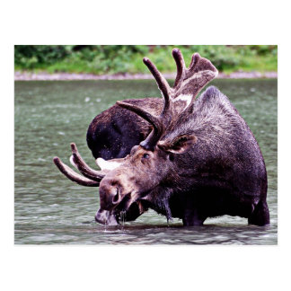 Moose Drinking Post Card