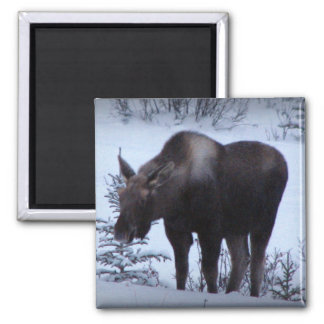 Moose Eating Branches 2 Inch Square Magnet