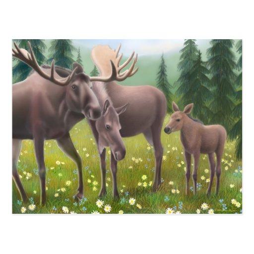 Moose Family Postcard