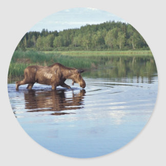 Moose Feeding in Lake Classic Round Sticker