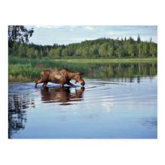 Moose Feeding in Lake Post Card