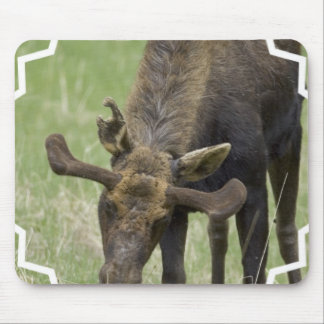 Moose Foraging  Mouse Pad