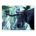 Moose in Jackson Hole, Wyoming Postcard
