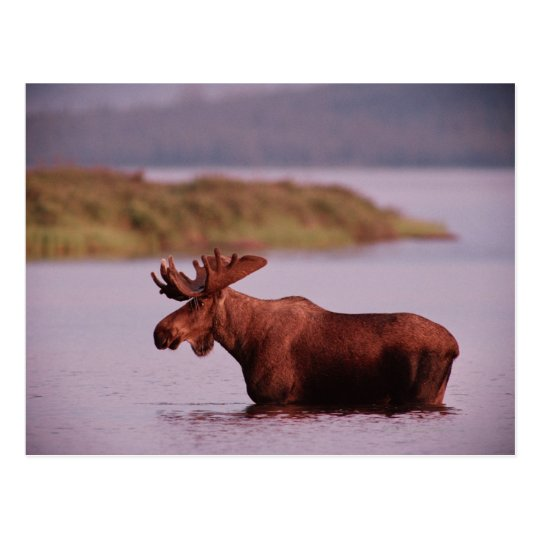 Moose in Lake Postcard