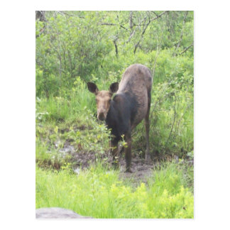 Moose in the Mud Post Cards