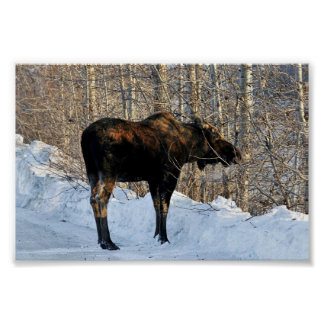 Moose In U.S. Fish and Wildlife Parking Lot Posters