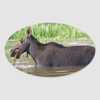 Moose in water oval sticker