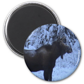 Moose loose in the snow magnet