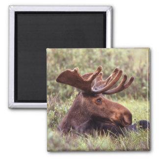 Moose Lounging Magnet