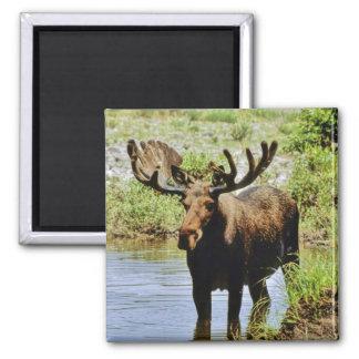 Moose Magnet