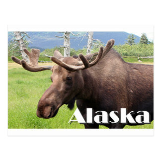 Moose near Anchorage, Alaska, USA (caption) Postcard
