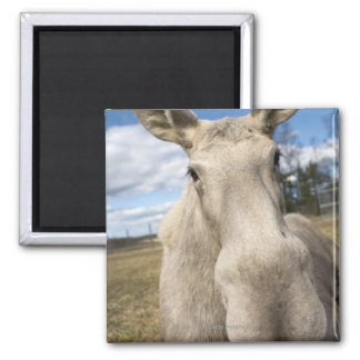 Moose on a field, Sweden. 2 Inch Square Magnet