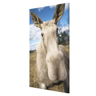 Moose on a field, Sweden. Canvas Print