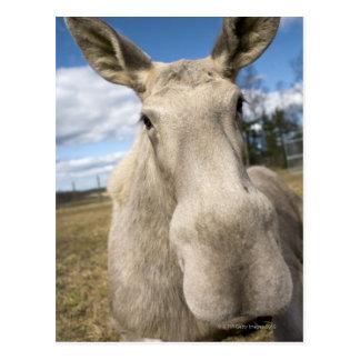 Moose on a field, Sweden. Postcard