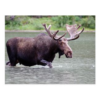 Moose on a Mission Postcard