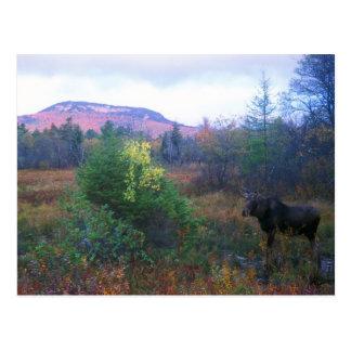 Moose on Kancamagus Highway Postcard