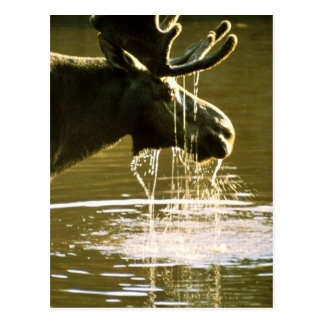 Moose Post Cards