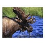 Moose Postcards