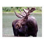 Moose Profile Postcard