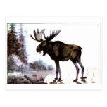 Moose Shirts and Gifts 111 Post Card