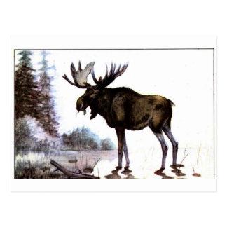 Moose Shirts and Gifts 111 Postcard