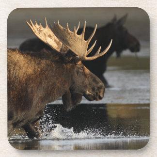 moose splashing in the water coaster
