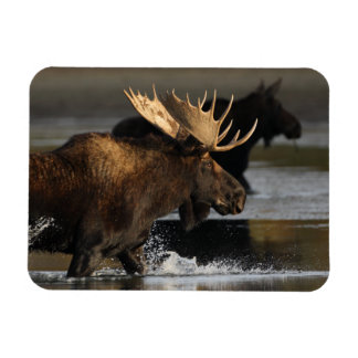 moose splashing in the water vinyl magnets