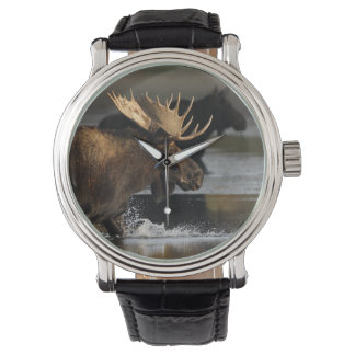 moose splashing in the water watch
