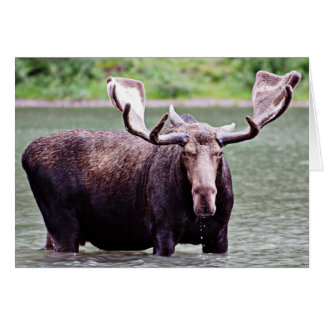 Moose Stare Down Cards
