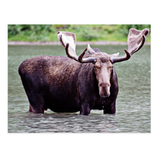 Moose Stare Down Postcards