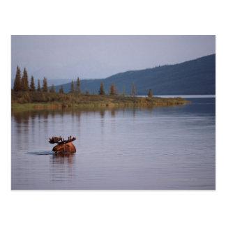 Moose Swimming in Lake Postcard