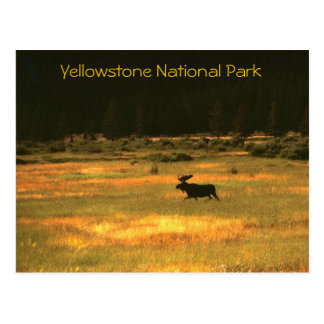 Moose Yellowstone National Park Postcard