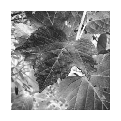 Mooseberry Leaves in Black and White Canvas Print