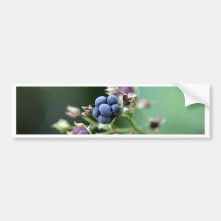 Mora ártica europea (caesius del Rubus) Pegatina Para Auto