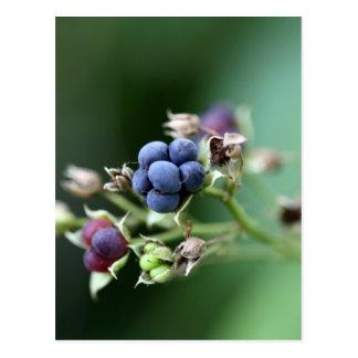 Mora ártica europea (caesius del Rubus) Tarjeta Postal