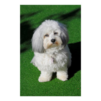 more beautifully, white havanese dog sitting, view poster