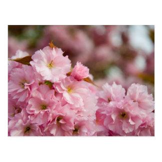 More Sakura Blossoms Postcard