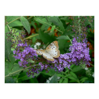 Moreno y mariposa blanca posters