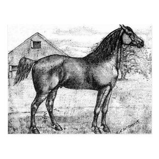 Morgan Horse Breed 1888 Vintage Drawing Art Postcard
