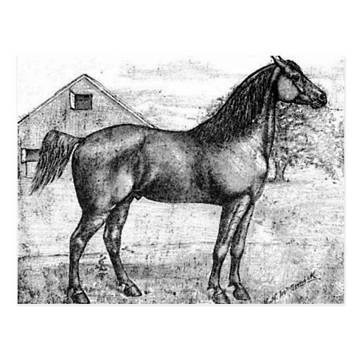 Morgan Horse Breed 1888 Vintage Drawing Art Postcards