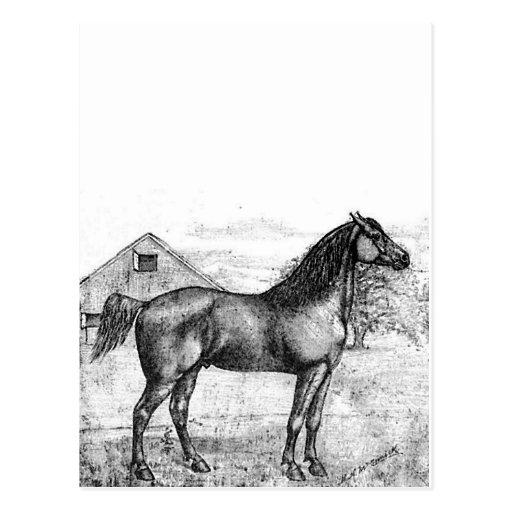 Morgan Horse Breed 1888 Vintage Drawing Art Post Cards