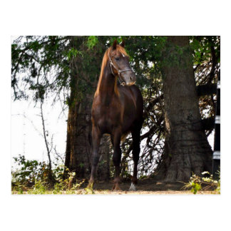 Morgan Horse Products!! Postcard