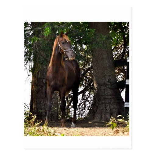 Morgan Horse Products!! Post Cards