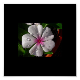 Morning Dew Vinca Flower Print