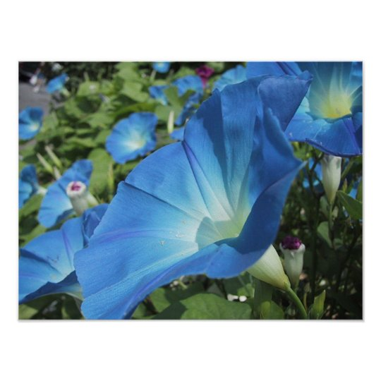 Morning Glories on Cape Cod Poster