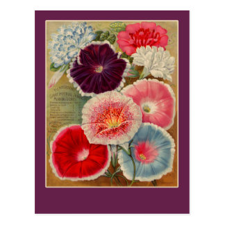 Morning Glories Seed Packet Art Cards Postcard